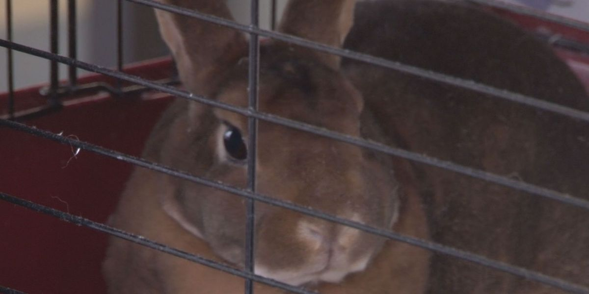 Pet rabbits being adopted for the wrong reasons