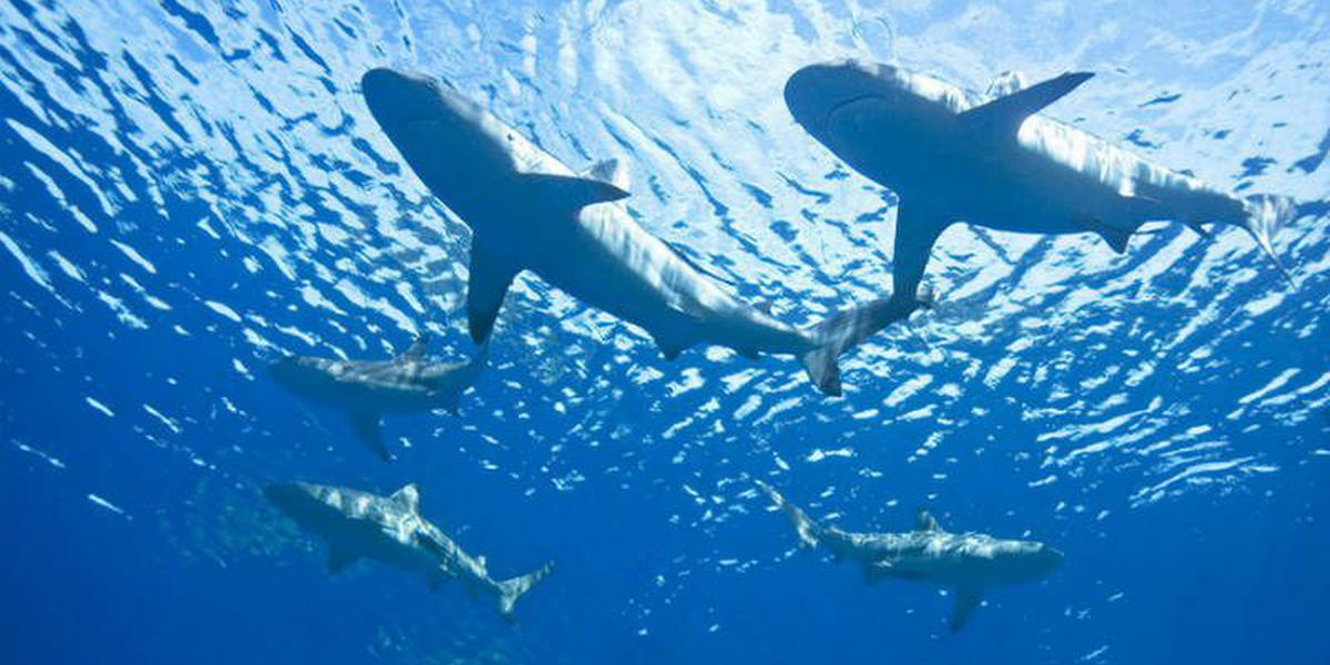UNCW shark researcher 'absolutelyfascinated about these animalswe know so little about'