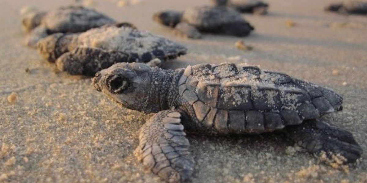 Only three of 45 unhatched sea turtle nests in Holden Beach survived Isaias