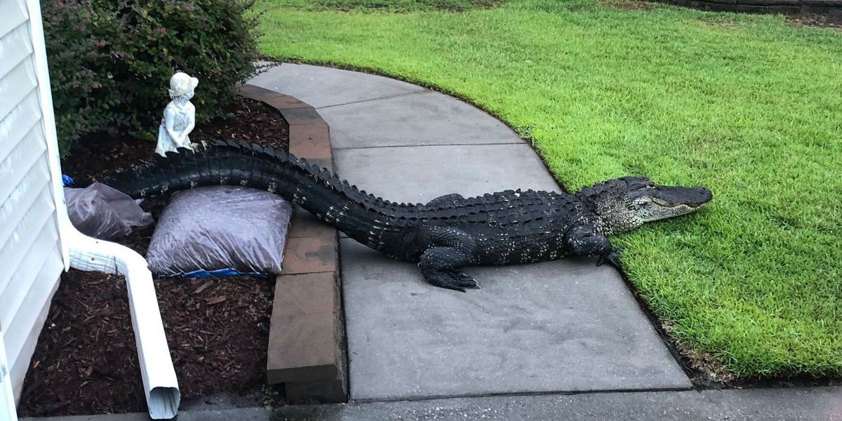 Eight-foot gator relaxes in front of Sunset Beach home