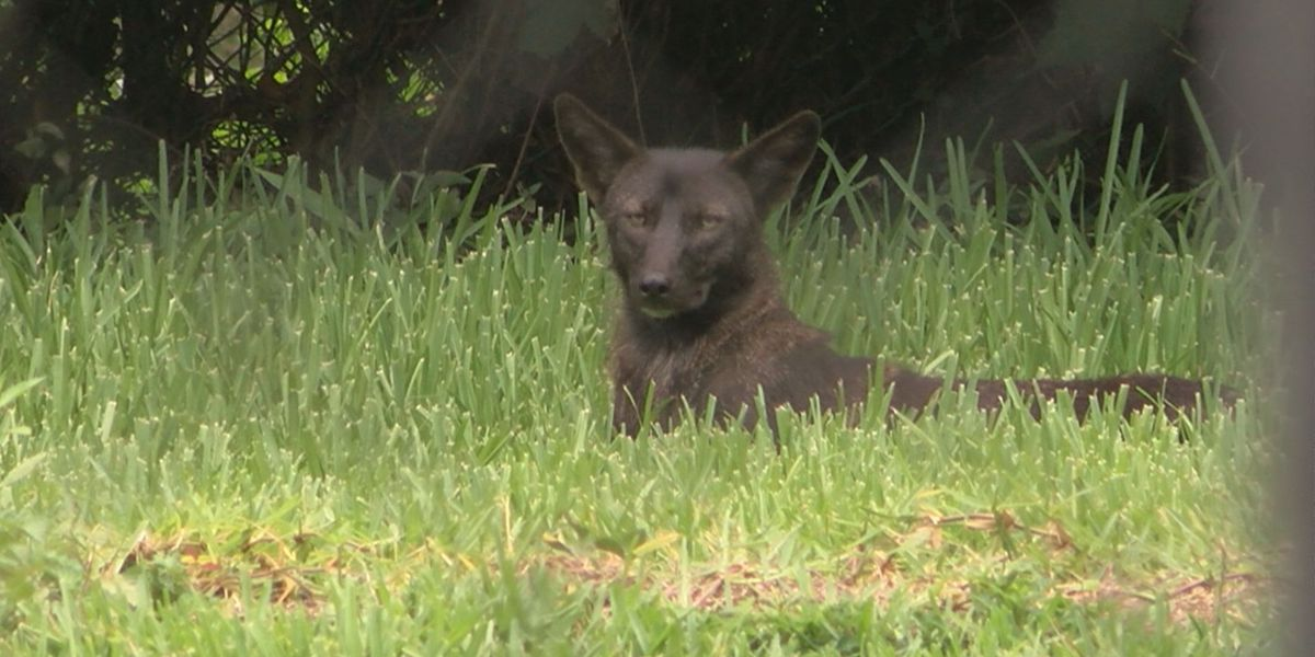 Bald Head Island details coyote management plan, N.C. Wildlife offers perspective amid public concern
